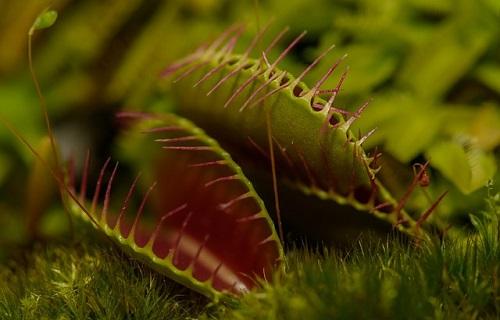©Wikipedi Plante Carnivore-Mid&plus