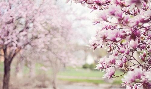 ©Pixabay magnolia-trees-556718_960_720
