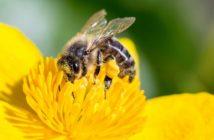 L'abeille fait le buzz