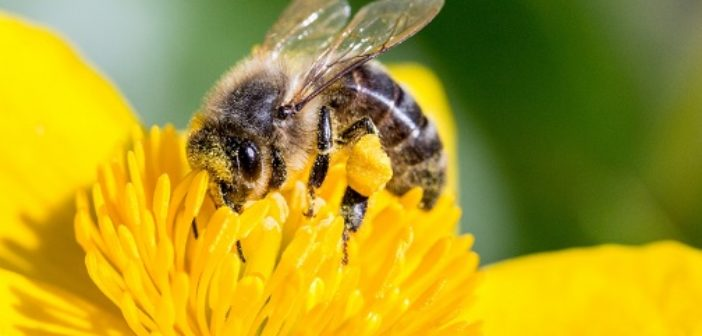 zoom abeille ©Libre de droit