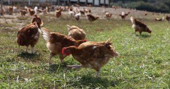 ©Fermiers de Loué – Poulets fermiers Label Rouge